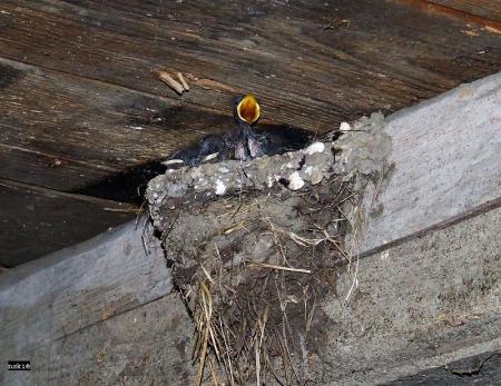 jaskolka ptak